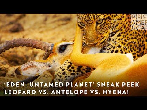 Download 'Eden: Untamed Planet' Sneak Peek: Leopard vs. Antelope vs. Hyena! 🐆 BBC America & AMC