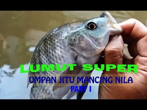 LUMUT SUPER UNTUK UMPAN MANCING NILA (PART 1)
