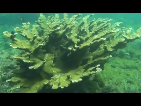 Elkhorn Coral: Caribbean Reef Rarity, Part I