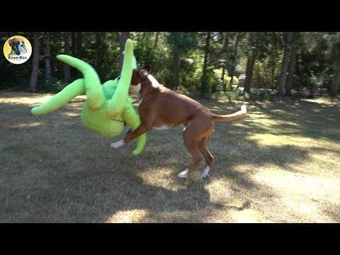 Stubborn Boxer Dog Rex vs Horrifying Octopus 😁