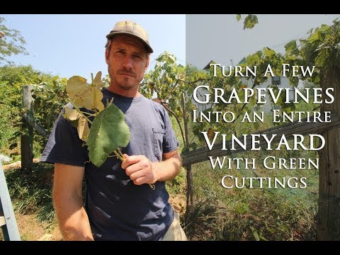 Turn a Few Grape Vines Into An Entire Vineyard In a Couple Weeks With Green Cuttings