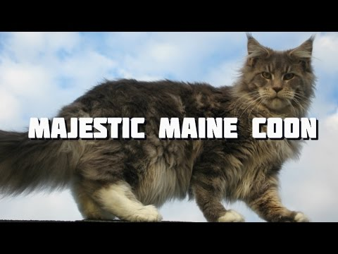 Maine Coon Cat Videos - The Majestic Maine Coon