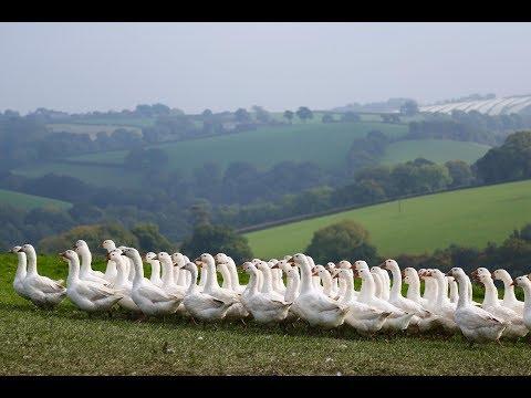 Organic Geese at Summerhill Farm