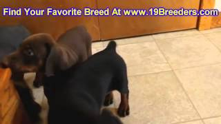 Doberman Pinscher, Puppies, For, Sale, In, Minneapolis, Minnesota, Mn, Inver Grove Heights, Rosevill