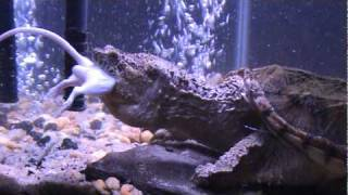 Snapping Turtle Eating Mouse