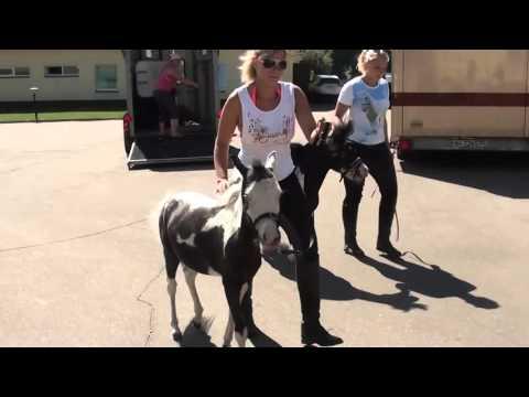 1 Разгрузка   Перевозка мини лошадей для шоу