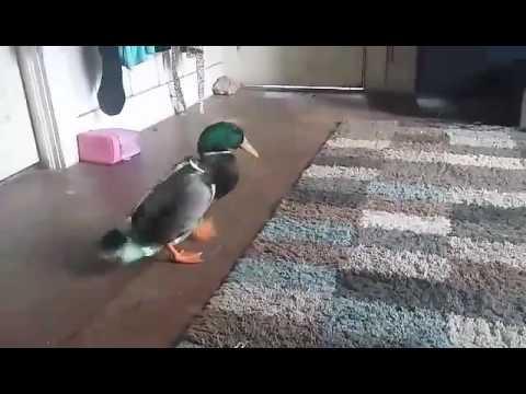 Happy dancing duck