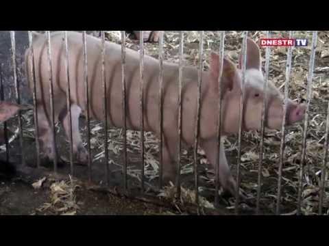 Развитие семейного бизнеса по выращиванию свиней в с. Спея Григориопольского района