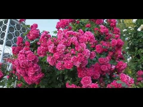Плетистая роза Лагуна (Laguna)