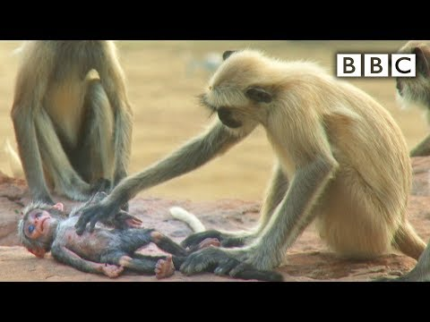 Thumbnail: Langur monkeys grieve over fake monkey - Spy in the Wild: Episode 1 Preview - BBC One
