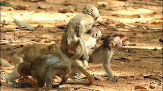 Many baby monkeys play together very Happy before the big monkey