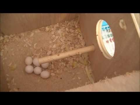 How to clean budgie nest box
