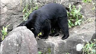 よこはま動物園ズーラシアのツキノワグマ。Asiatic black bear..Yokoham...