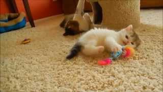 Exotic Shorthair Kitten (and mom) playing at 6 weeks