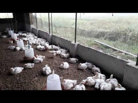 34वा दिन पोल्ट्री फार्म में | 34th day in Poultry farm