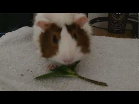 Guinea Eating Mints