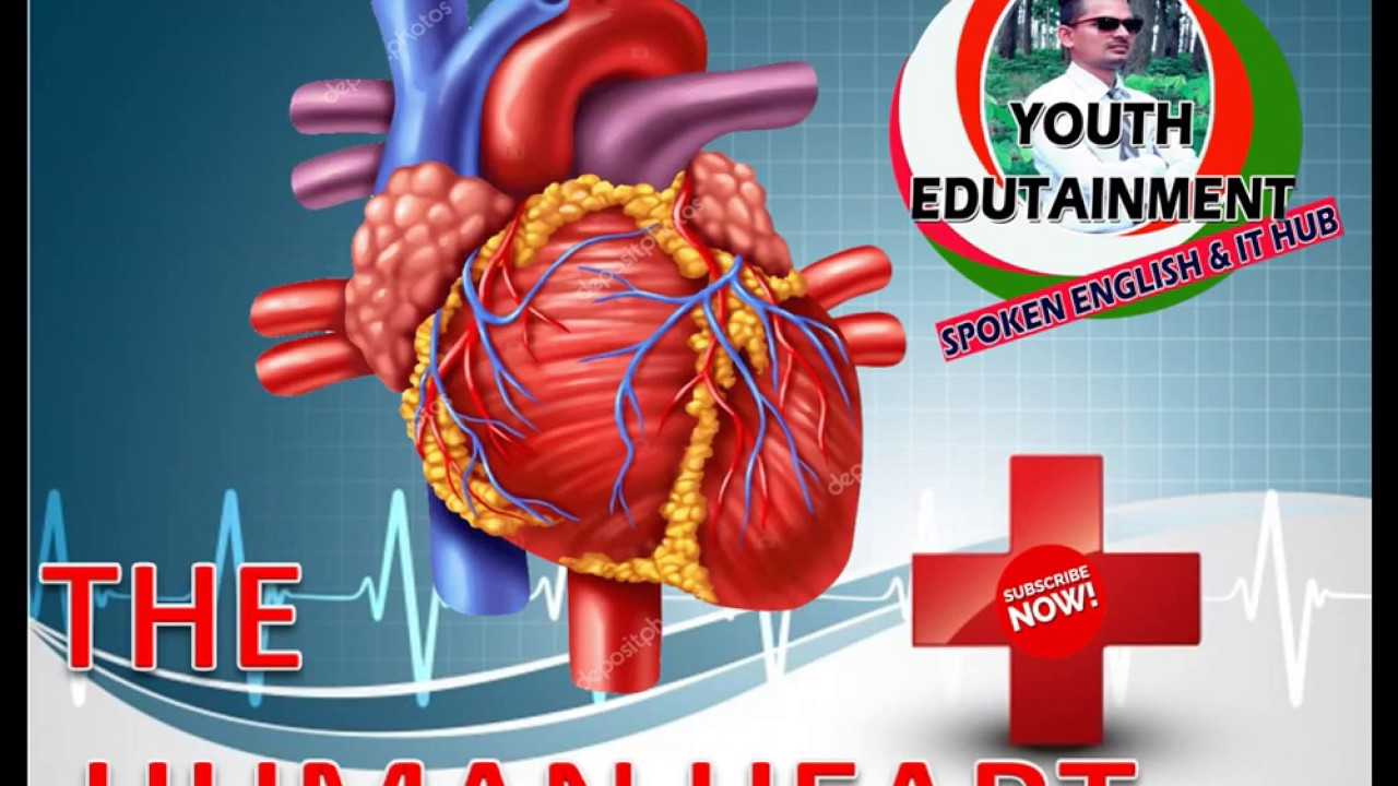 Human heart pumping mechanism notes with 3d diagram youtube human heart pumping mechanism notes with 3d diagram ccuart