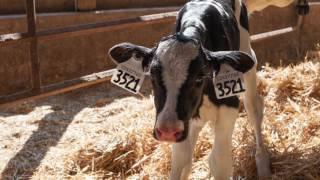 Proper Cattle Tagging