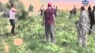 بالفيديو.. 'الداخلية' تقتحم مزارع المخدرات فى جنوب سيناء وتحرق نصف مليون شجرة أفيون