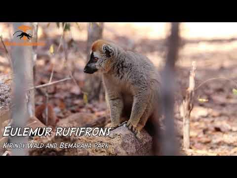 Lemuren von Madagaskar