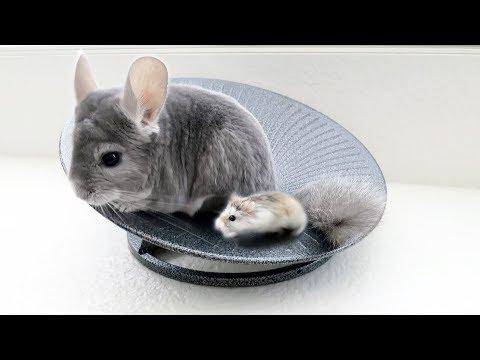 Chinchilla & Hamster Take Turns Spinning