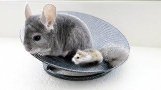 Baixar Chinchilla & Hamster Take Turns Spinning