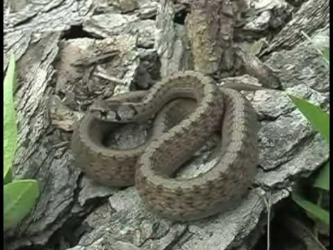 Snakes Of Ontario Youtube