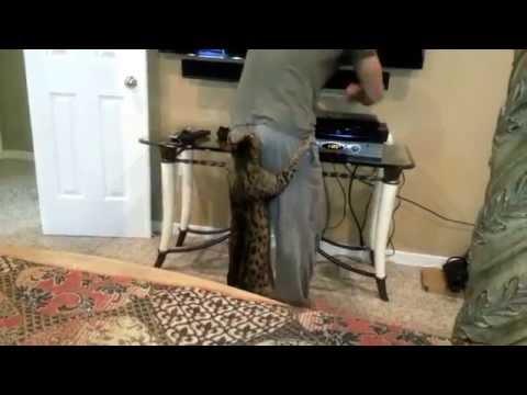 Savannah Cat Attack truTV
