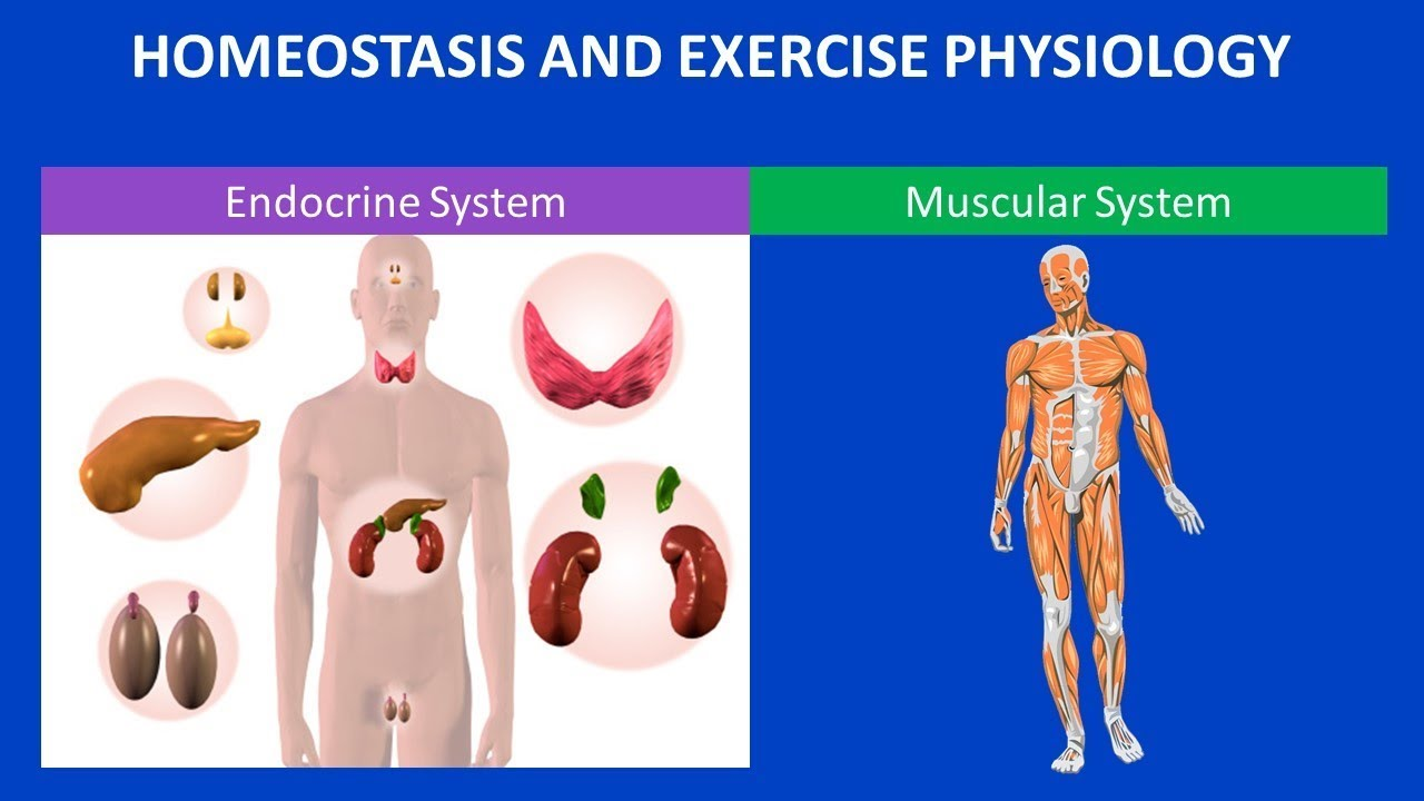 exercise 4 endocrine system physiology activity 2 1 section 04: the endocrine system and chronic responses to exercise hphe 6710 exercise physiology ii activity endocrine system organization.