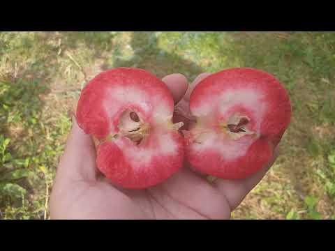 Яблоня красномясая сорт осенний Цирцея(Apple Circe). Дегустация