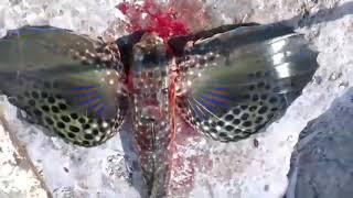 Yok böyle bir balık çanakkale