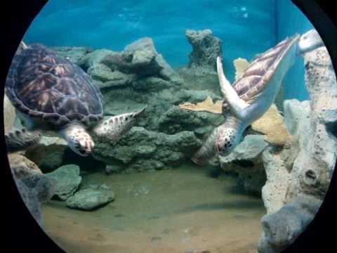 Tortuga marina acuario de veracruz youtube for Acuario tortugas