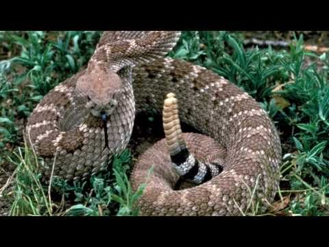Thumbnail: Rattle Snake Sounds and Pictures