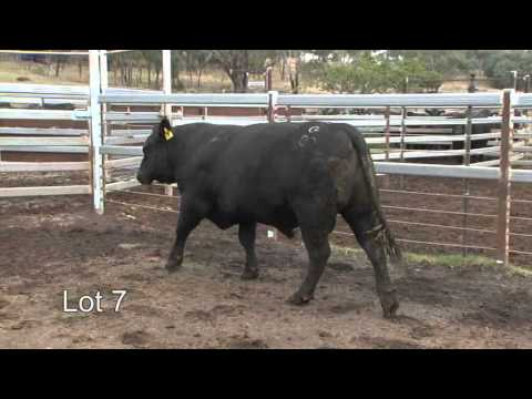 Burenda Angus 2013 Roma Sale Lot 7