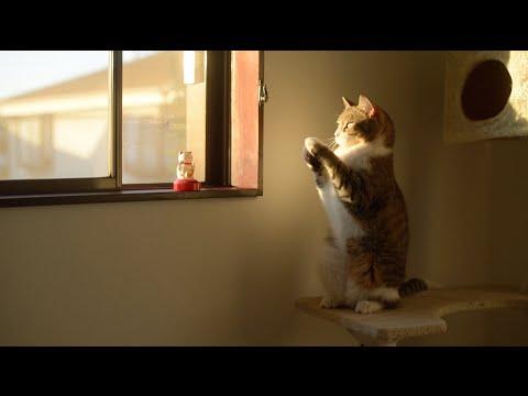 Thumbnail for Cat Video Taro the Cat Imitates Beckoning Cat