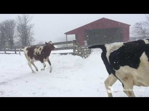 Bovine fun in the snow with Natalie, Diane, Liz, Cashew, Jerome, Gary, and Westley