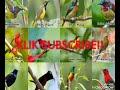 Suara pikat semua jenis burung   Suara ampuh untuk pikat langsung dapat banyak