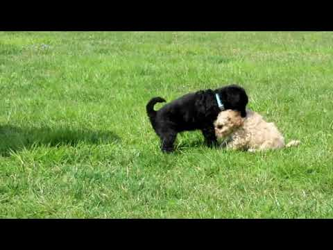 Toy Poodle Mix Puppies For Sale