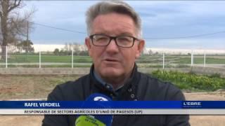 Preocupació al camp ebrenc per la 'xylella fastidiosa'