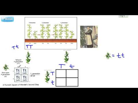 Mendel's Pea Plants P Generation