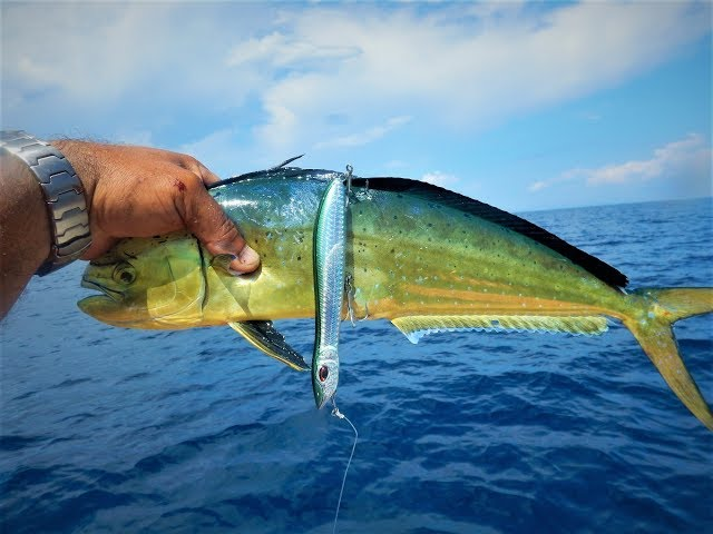 17+ Mahi Mahi Live Strikes! Tips for fishing with top water lures! Feat ΖΕΝΑQ Tobizo TC80-50G