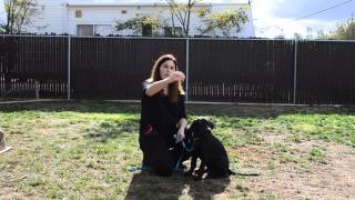 Video 1: How To Train A Lab Puppy To Sit