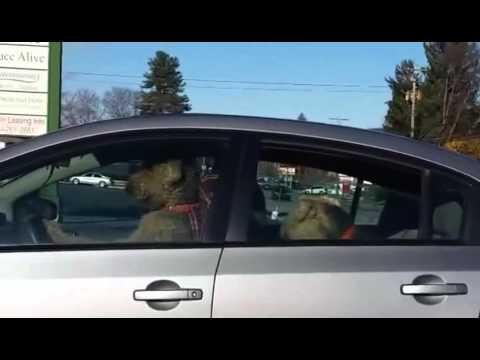Perro impaciente apura a su dueña a los bocinazos