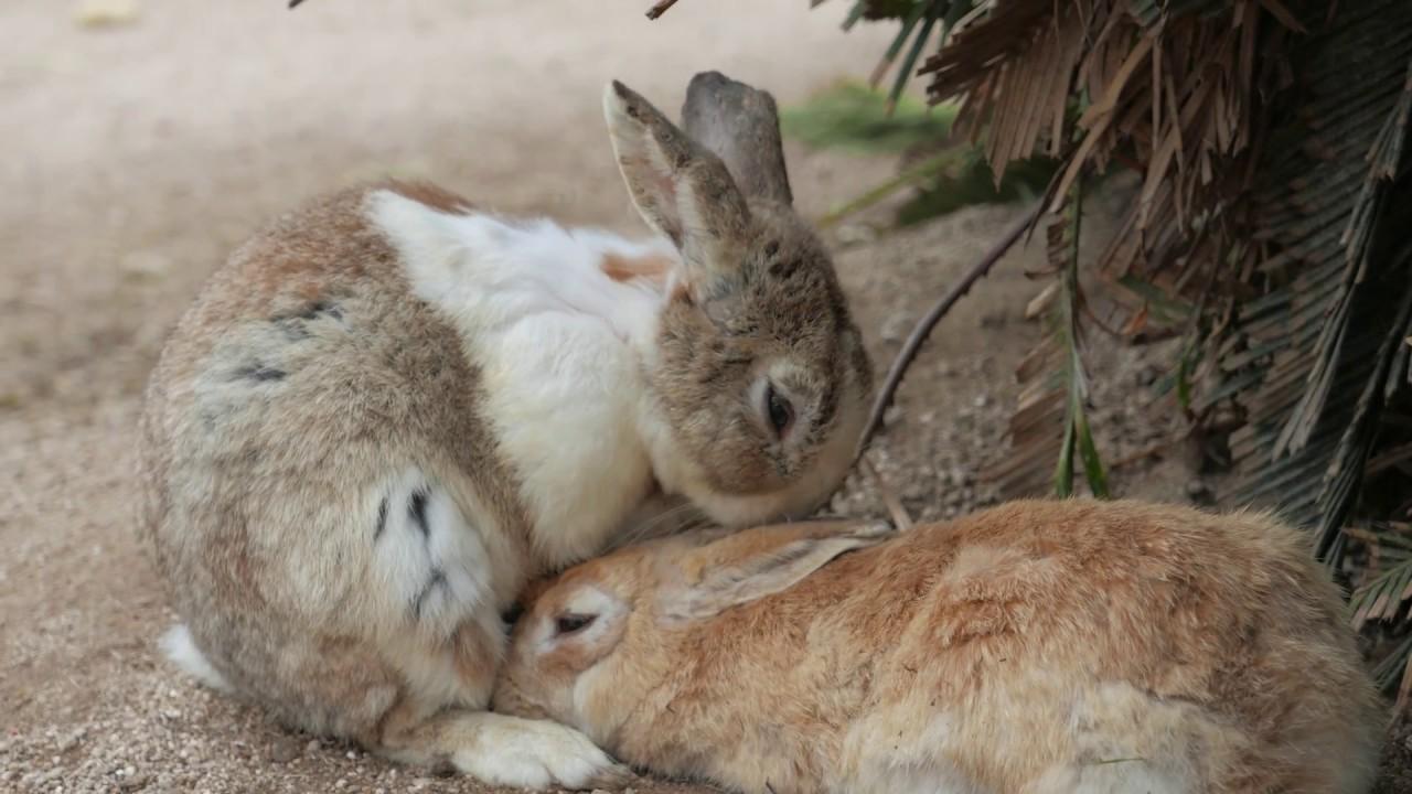 Trip To Rabbit Island Okunoshima In Japan 4k
