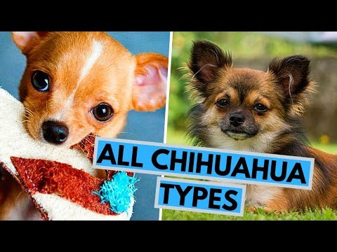 All Chihuahua Types - Based on Their Coat, Head and Color