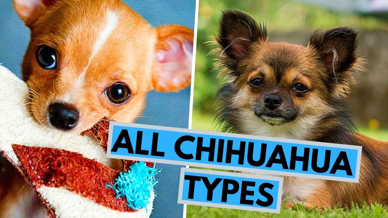 All Chihuahua Types Based On Their Coat Head And Color Youtube