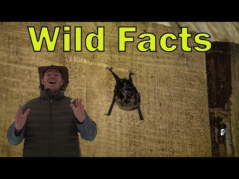 Megachiroptera vs Microchiroptera: Wild Facts Ep. 21