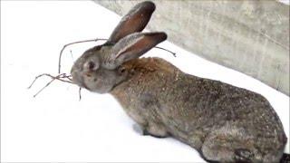 Кролик Серый великан зимой(Прогулка кролика по снегу ----------Поддержать проект финансово: WebMoney Z680284243080 Приветствую ВАС на моём канале!!!..., 2016-01-07T13:49:41.000Z)