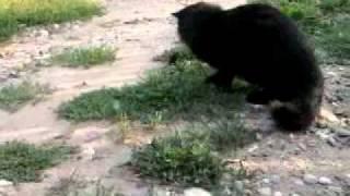 Сибирский кот Лучик ловит полевку