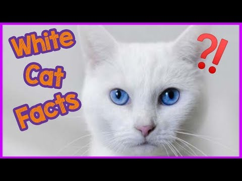 Interesting Facts About White Cats - Facts and Myths!